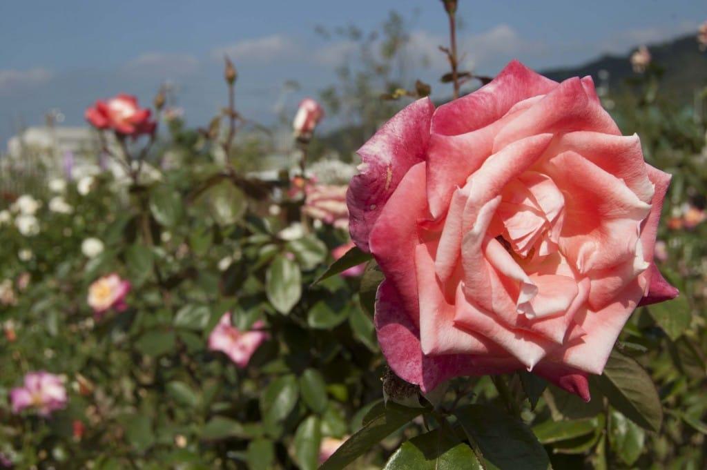 よしうみバラ公園のバラ