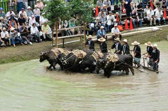 どろんこ祭り 牛による代かき
