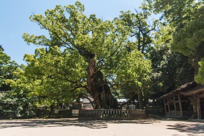 推定樹齢2600年の大楠