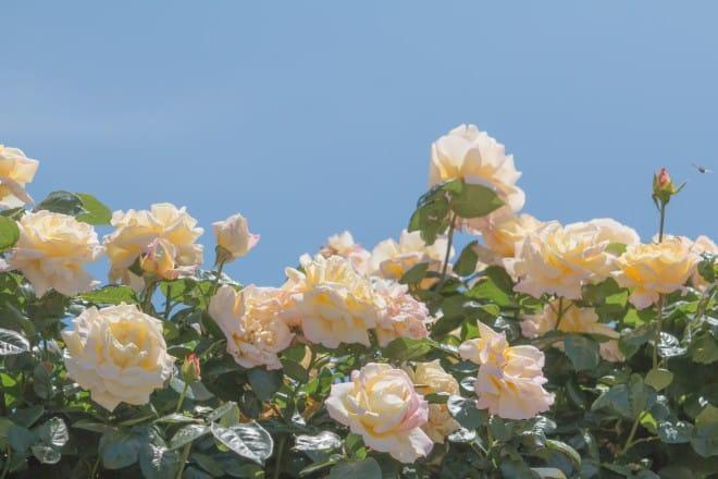 よしうみバラ祭り10