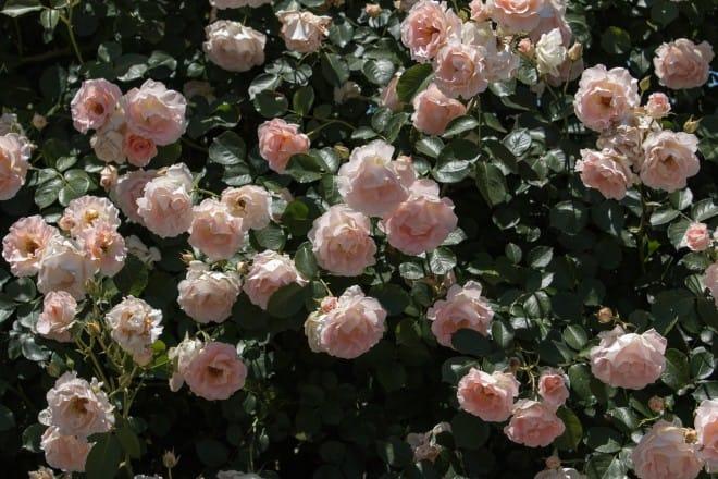 よしうみバラ祭り13