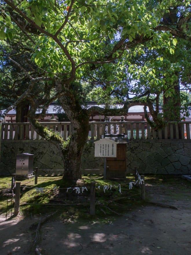 推定樹齢3000年の楠