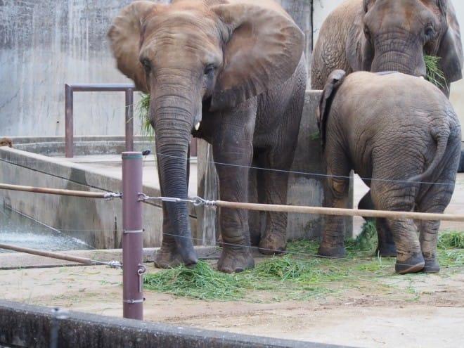 とべ動物園アフリカゾウの親子