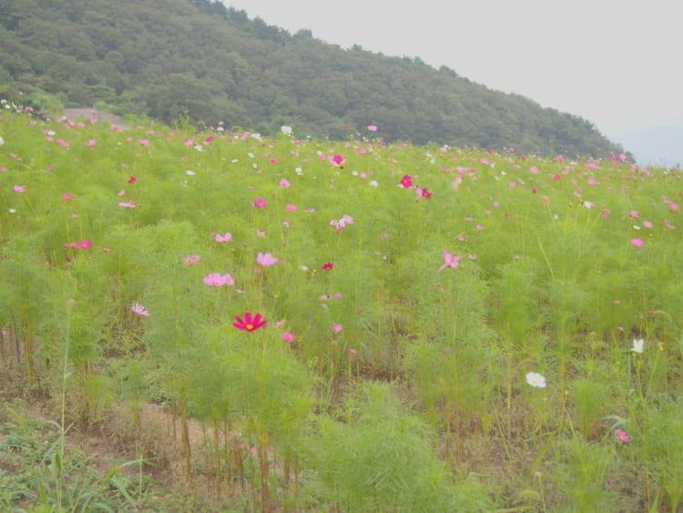 翠波高原コスモス畑5