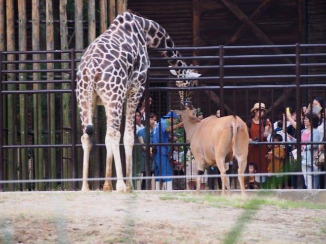 とべ動物園キリン1