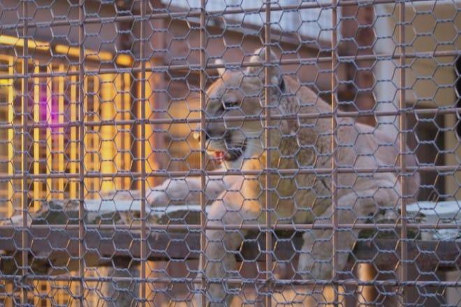 とべ動物園ライオン1