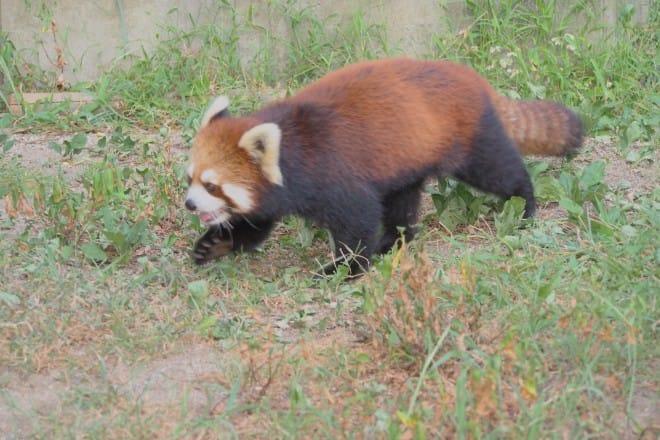 とべ動物園レッサーパンダ1