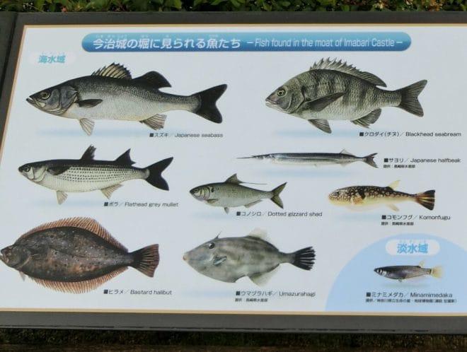 今治城内堀の魚