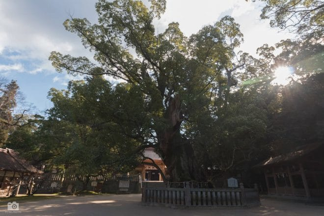 大山祇神社のクスノキ群
