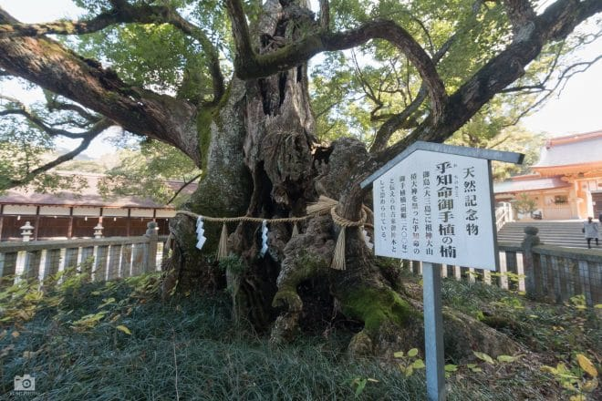 大山祇神社の乎千命御手植の楠
