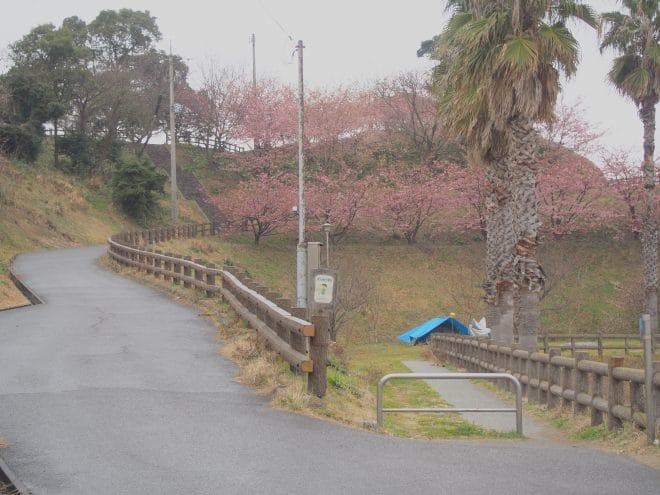 大角海浜公園河津桜1