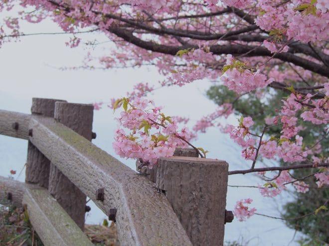 大角海浜公園河津桜3