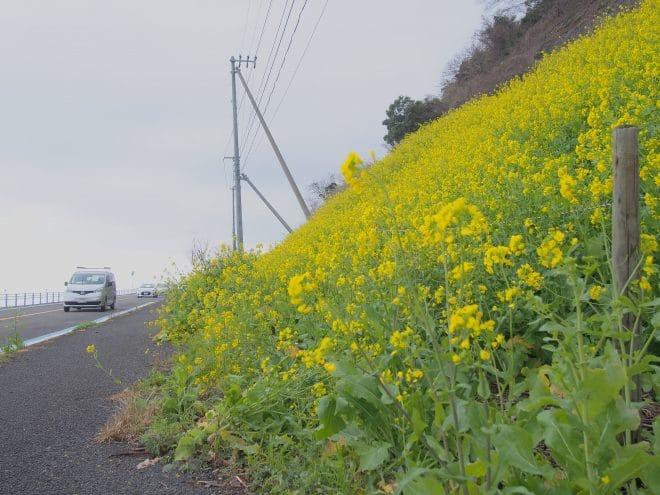 閏住の菜の花畑4