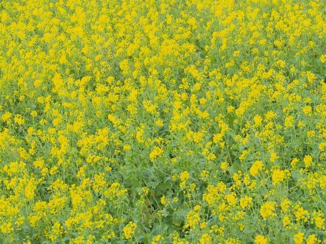 閏住の菜の花畑7
