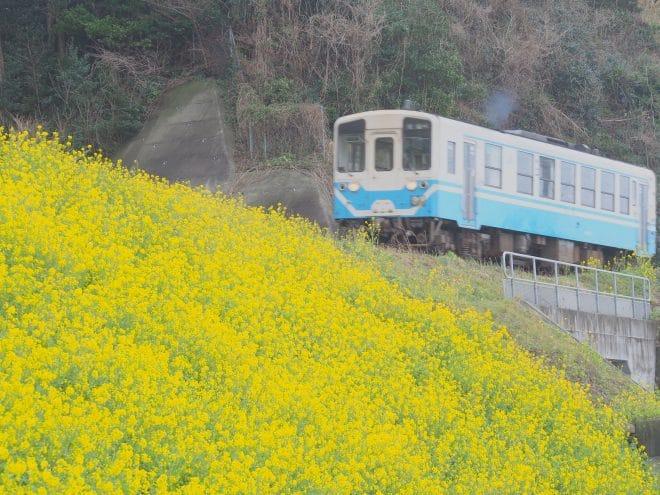 閏住の菜の花畑と電車