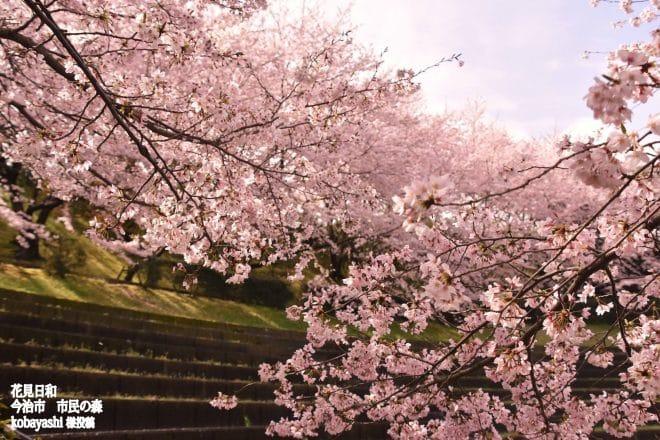 今治市民の森桜1