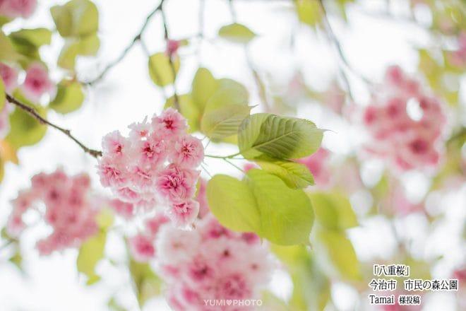今治市民の森桜2
