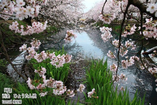 西条市ひょうたん池桜