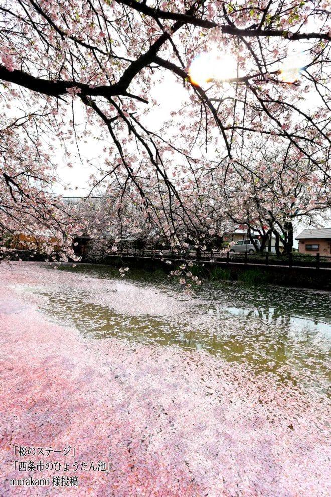 西条市ひょうたん池桜3