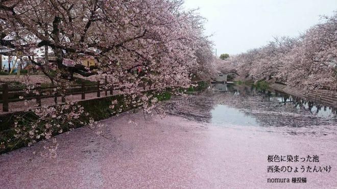 西条市ひょうたん池桜2