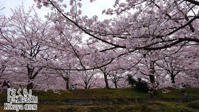 新居浜市広瀬公園桜