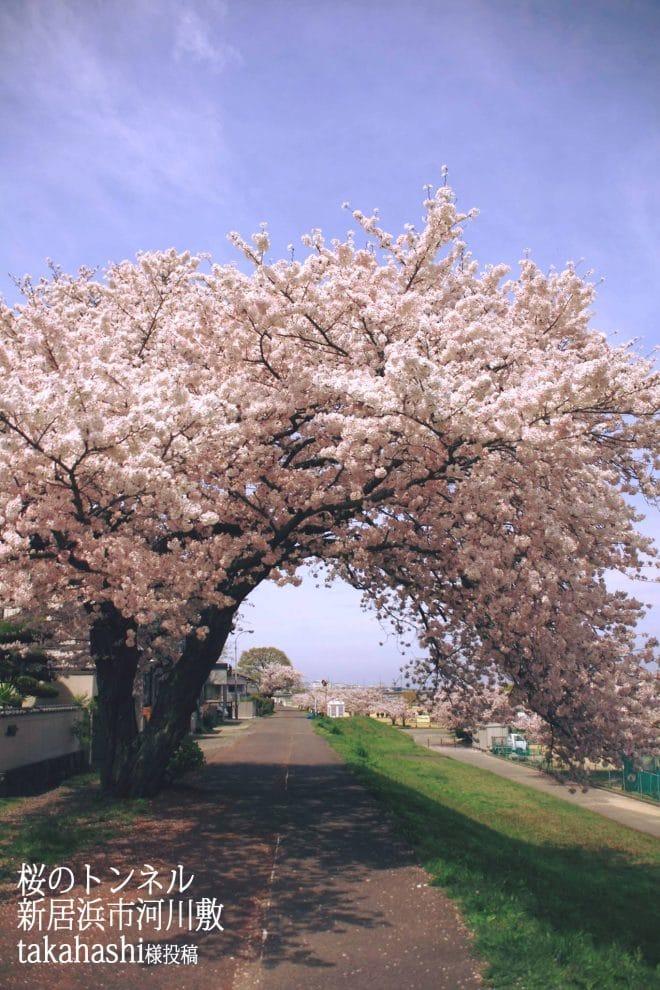 新居浜国領川河川敷の桜2