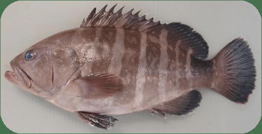 幻の高級魚マハタ