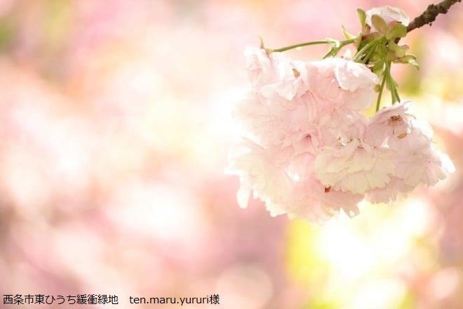 西条市東ひうち緩衝緑地 桜フォトコンテスト2018
