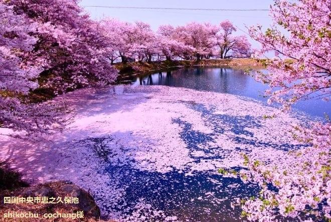 四国中央市恵之久保池 桜フォトコンテスト2018
