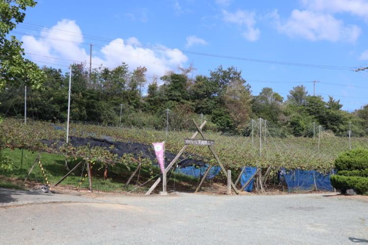ふじブドウ園 ブドウ畑