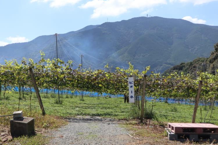 ふじブドウ園 ピオーネ畑