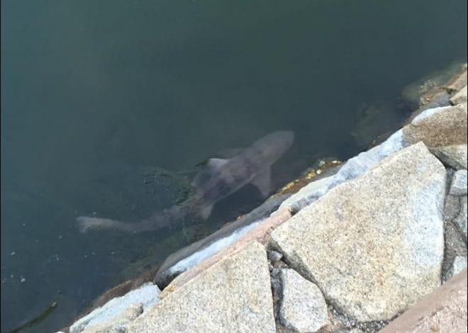 今治城のサメ