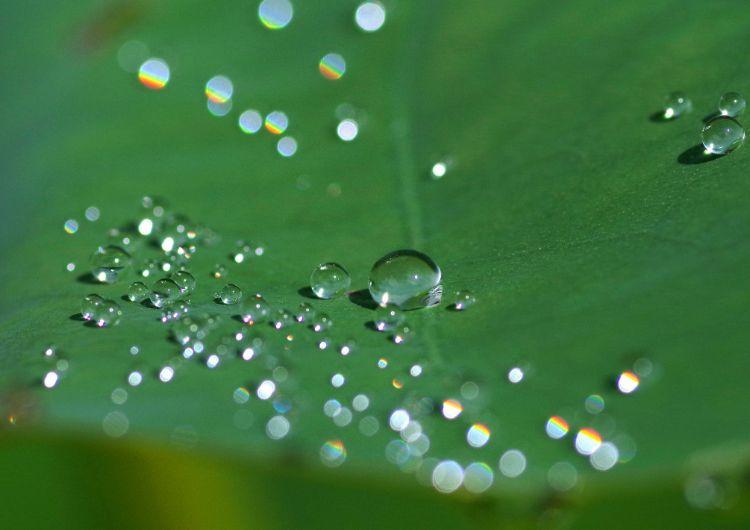 浄瑠璃寺 蓮の葉