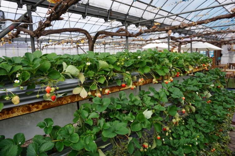 ゆきもと農園 黒イチゴ2