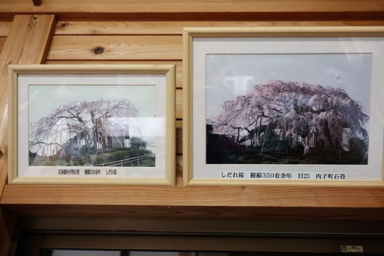 むら 桜の写真1