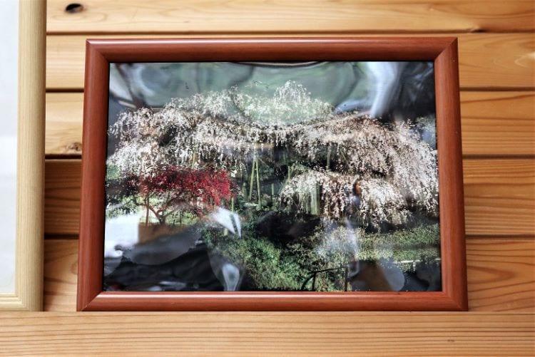 むら 桜の写真2
