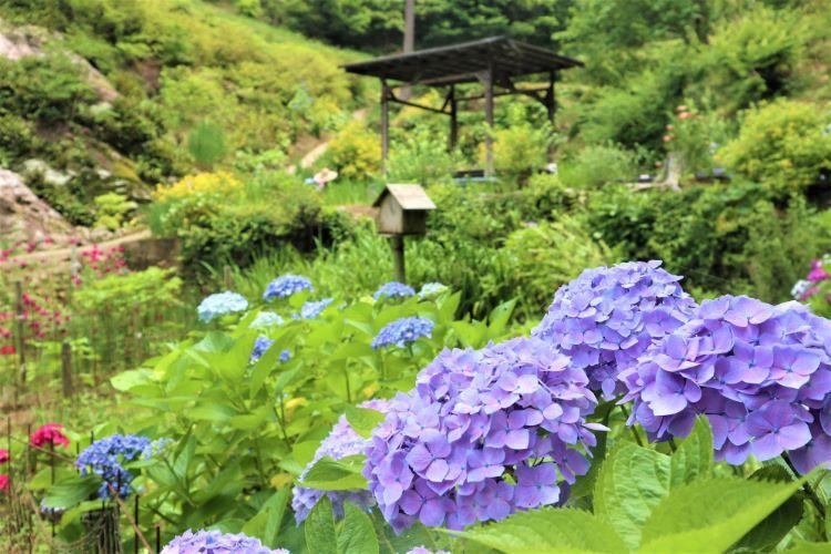 かくれの里 紫陽花1