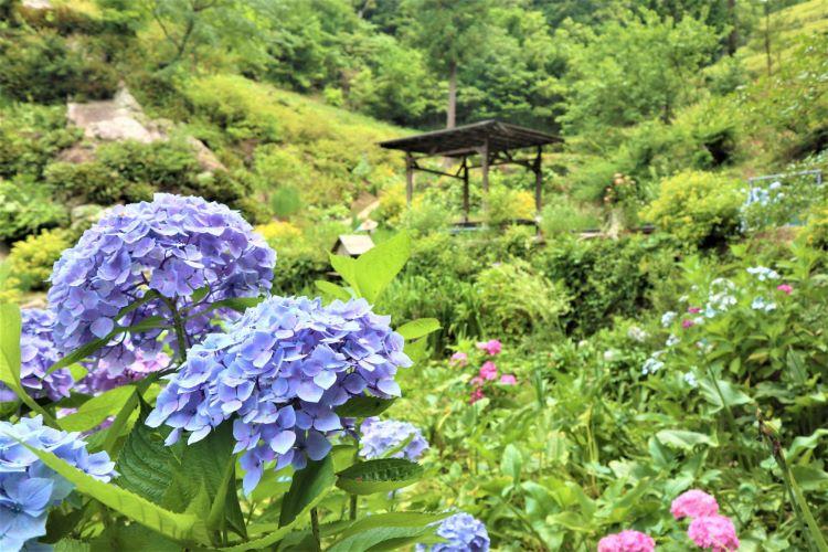 かくれの里 紫陽花3