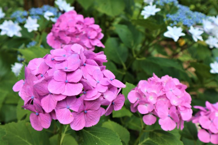 かくれの里 紫陽花4