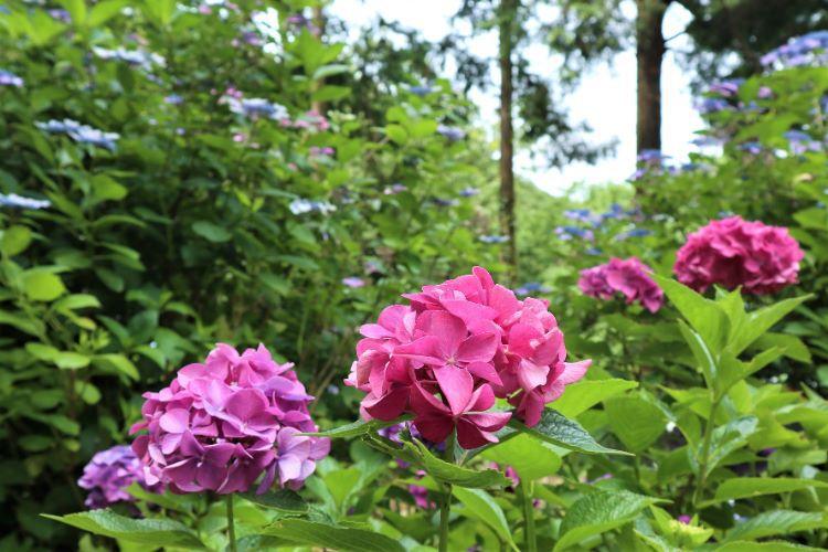 かくれの里 紫陽花5