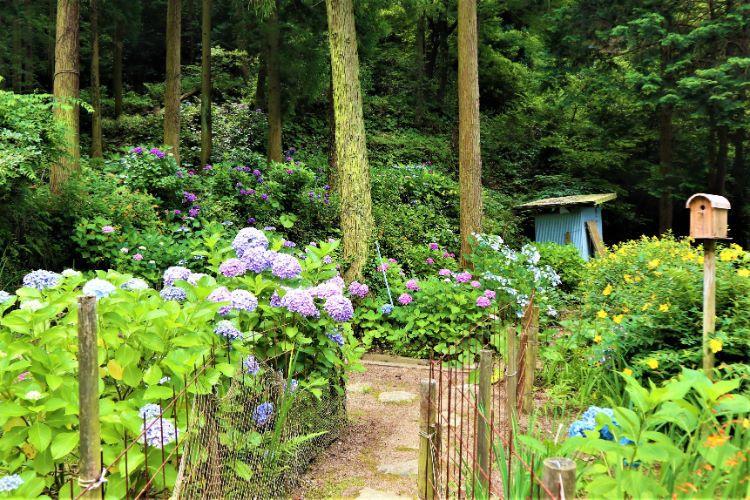 かくれの里 紫陽花畑1