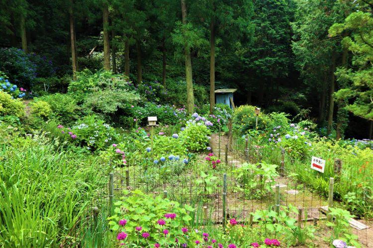 かくれの里 紫陽花畑2
