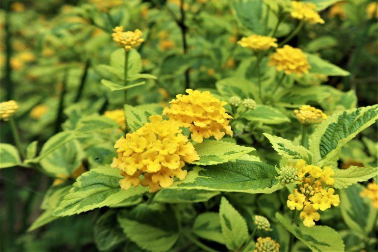かくれの里 紫陽花7