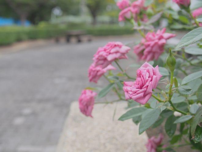 伊予三島運動公園バラ園1
