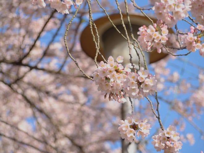 三島公園-桜
