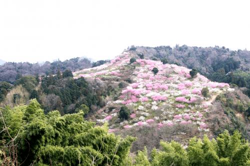 七折梅園-砥部町
