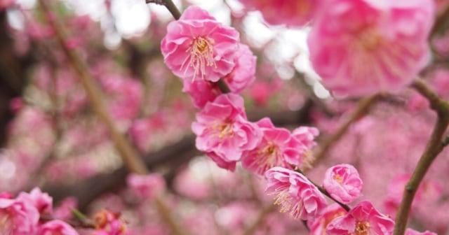 愛媛県梅の花2