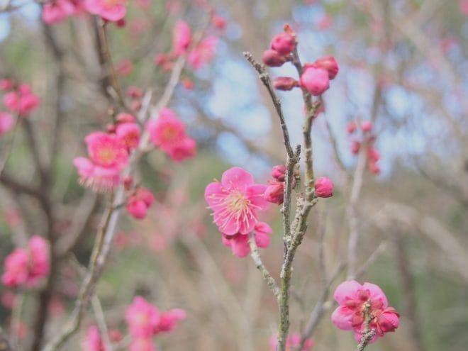 愛媛県内梅の花情報