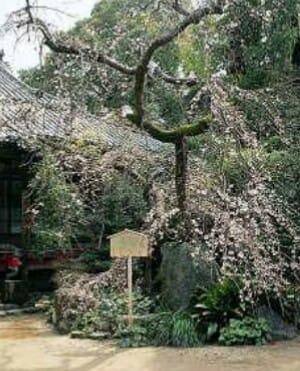 みかえりの桜