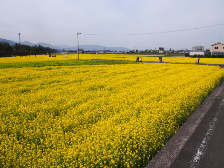 見奈良菜の花7